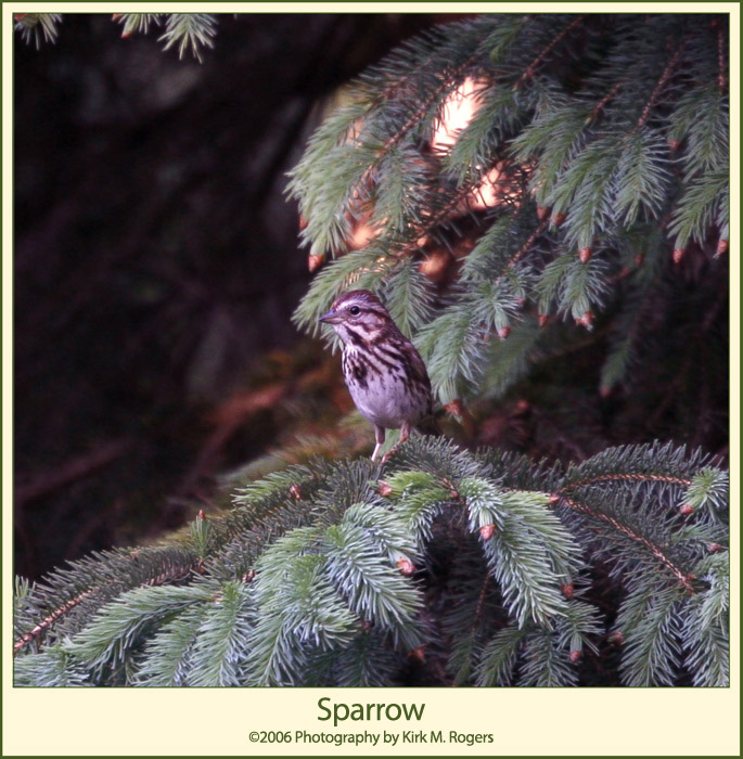 Sparrow in Evergreen