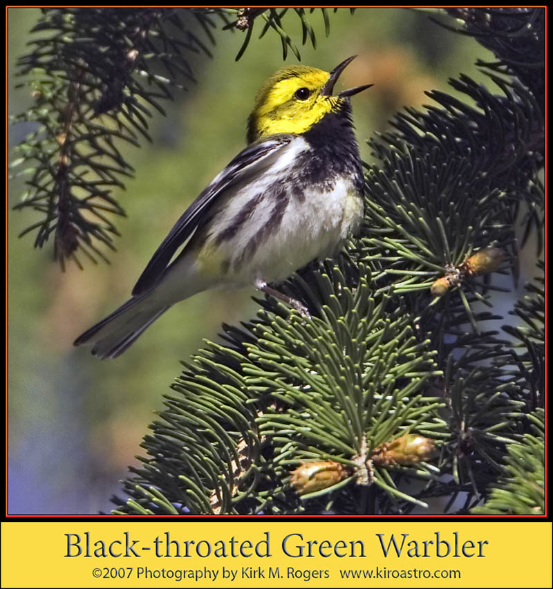 Black-throated Green Warbler - my favorite image of the day