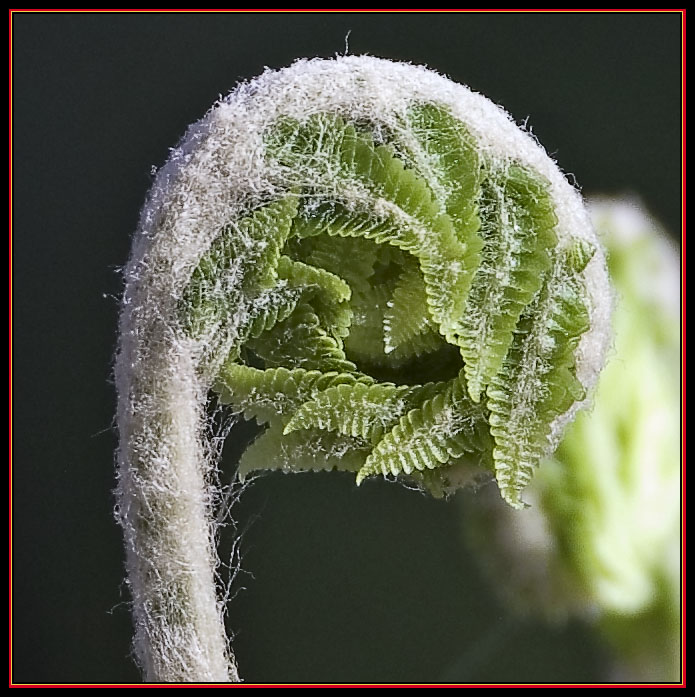 Fiddlehead Up Close