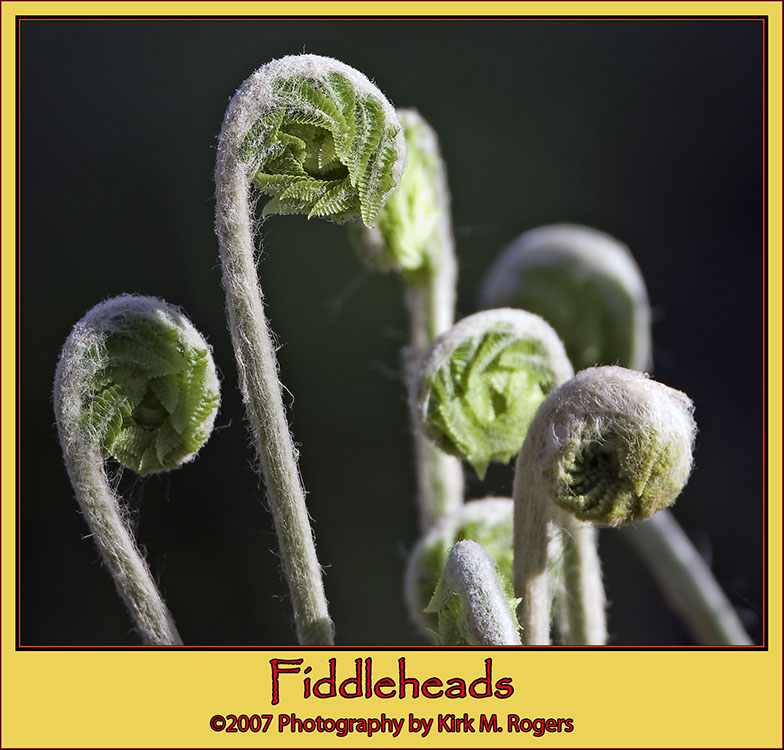 Fiddleheads on the Path