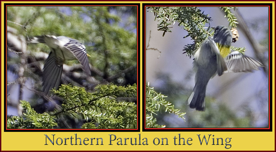 Northern Parula Wing Shots
