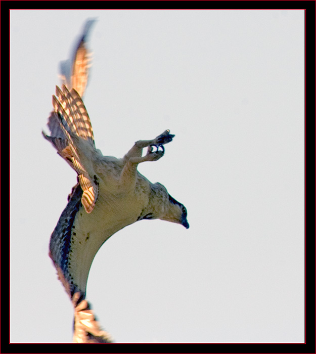 Osprey on the Hunt