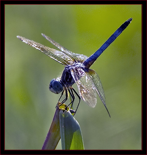 One of the Dragonflies - A Blue Corporal
