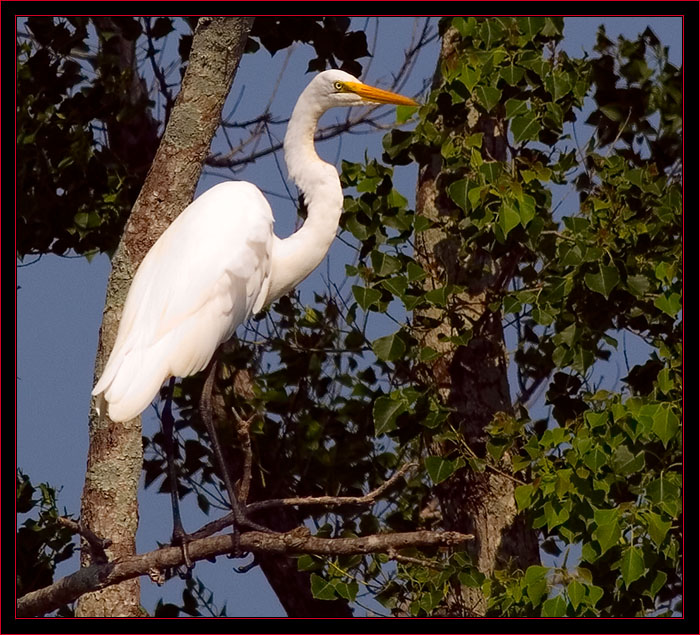 Great Egret at SNWR