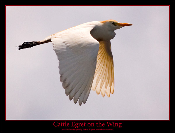 Cattle Egret Flight Image