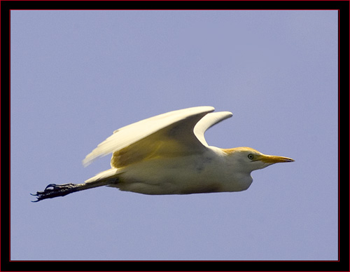 Cattle Egret in Flight