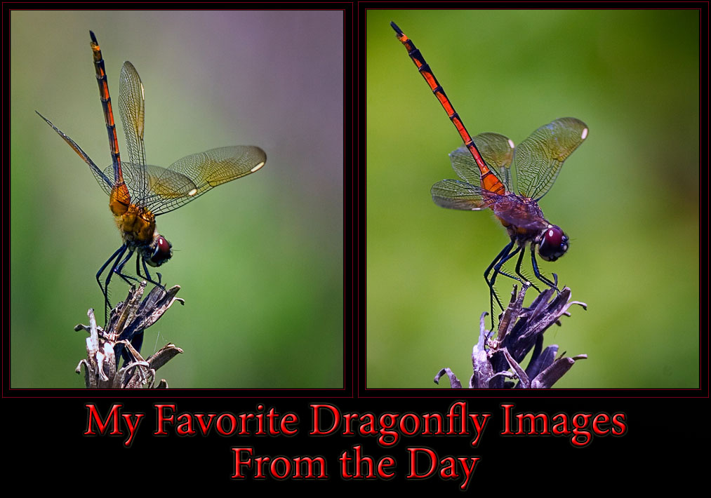 Yet More Dragonflies...