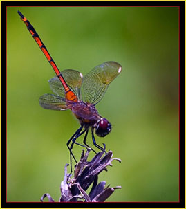 Dragonfly - Link to Photojournal