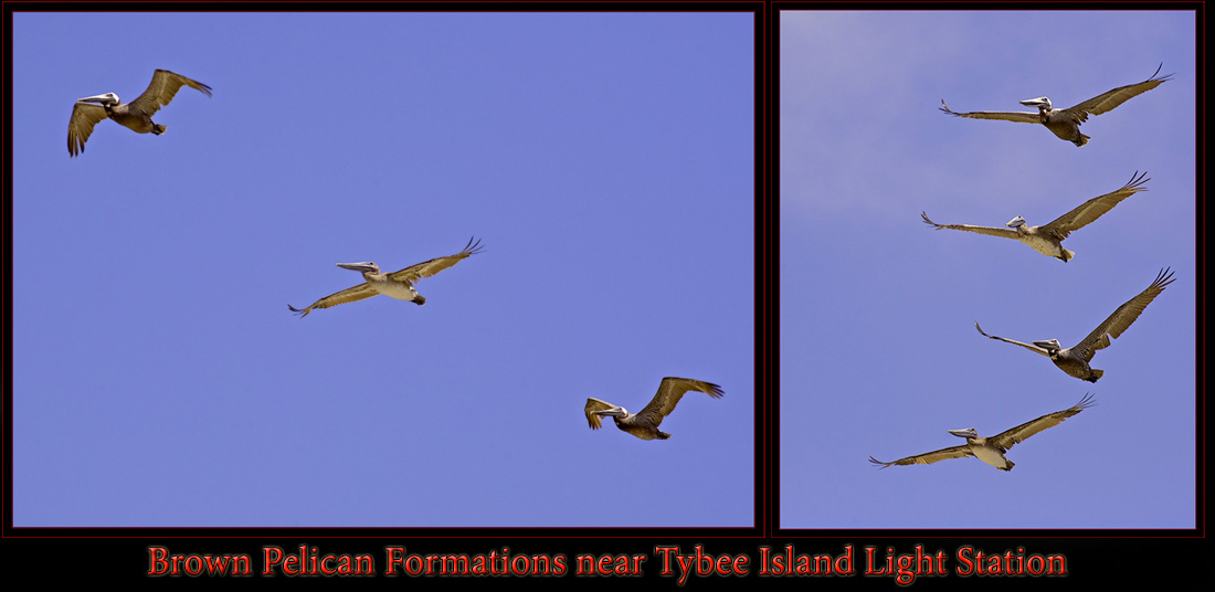 Brown Pelican Formations