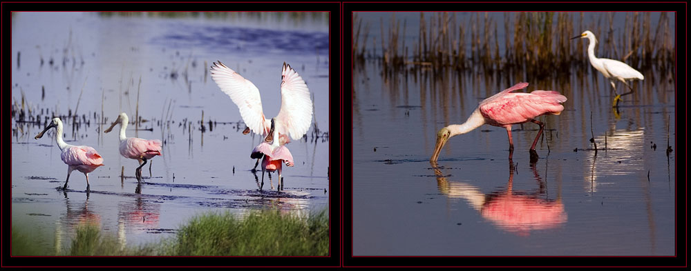 Spoonbill Images, one with a Snowy Egret in the background