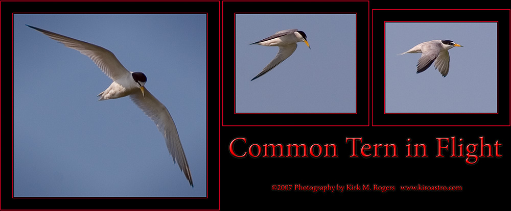 Common Tern Flight Images