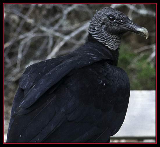 Black Vulture - Friedrich Wilderness Park - San Antonio, Texas