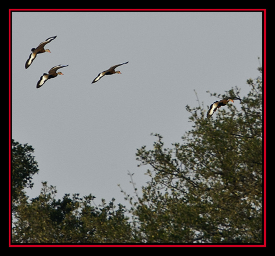 Egyptian Goose Flight