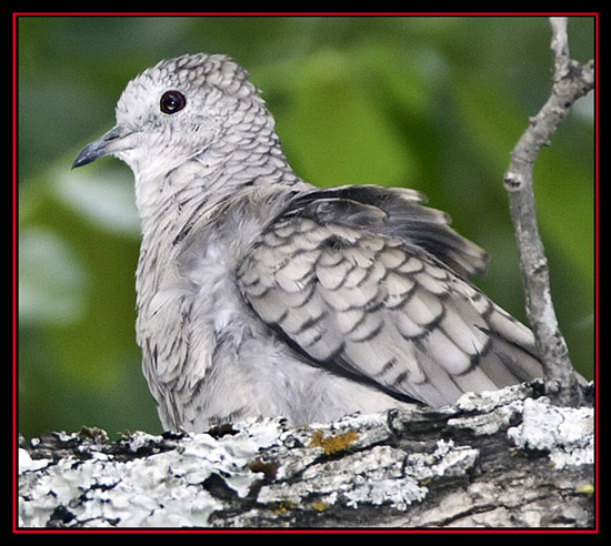 Inca Dove - Guadalupe River State Park, Spring Branch, Texas