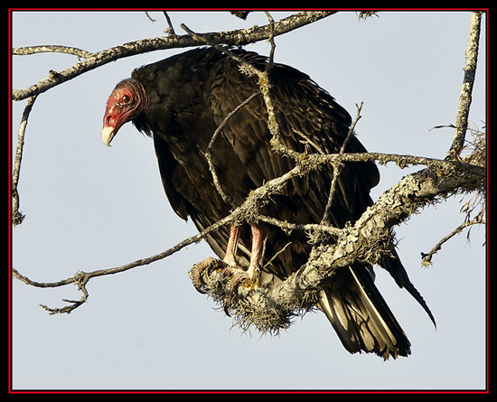 Turkey Vulture Along the Road