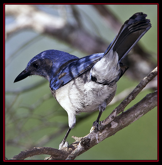 Western Scrub-Jay - Lost Maples State Natural Area - Vanderpool, Texas