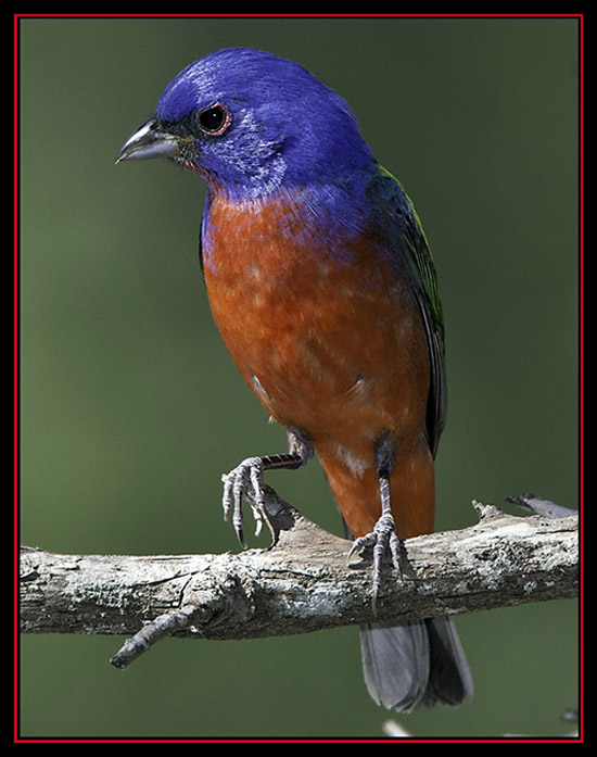 Painted Bunting - Lost Maples State Natural Area - Vanderpool, Texas