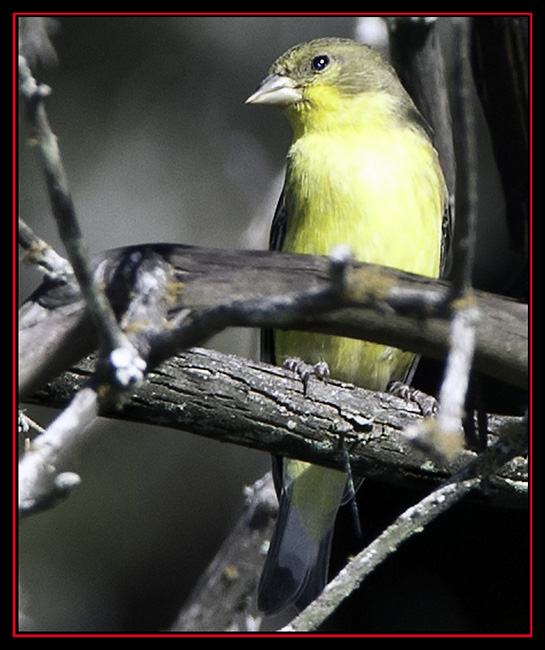 Female Lesser Goldfinch - Lost Maples State Natural Area - Vanderpool, Texas