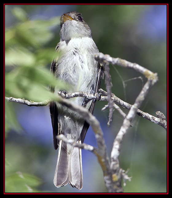 Acadian Flycatcher - Lost Maples State Natural Area