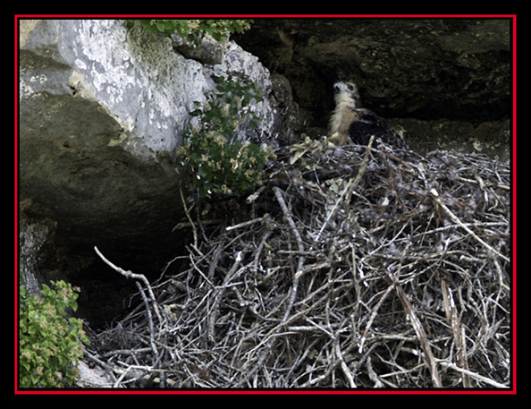Red-tailed Hawk Chick in the Nest