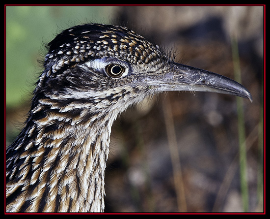 Greater Roadrunner - Boerne, Texas