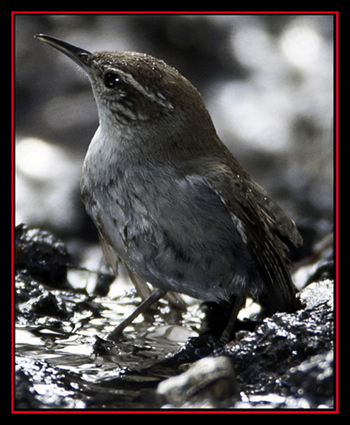 Bewick's Wren - Friedrich Wilderness Park - San Antonio, Texas