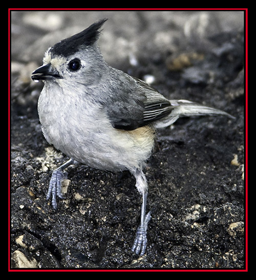 Black-crested Titmouse - Friedrich Wilderness Park - San Antonio, Texas