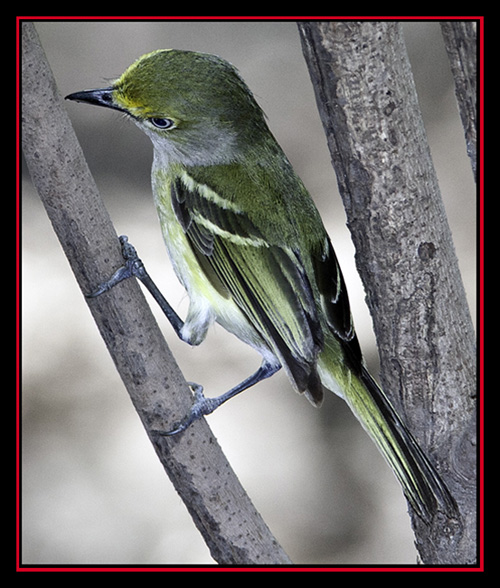 White-eyed Vireo - Friedrich Wilderness Park - San Antonio, Texas