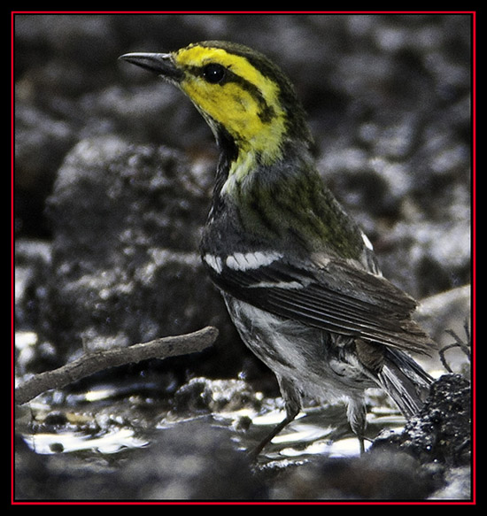 Golden-cheeked Warbler - Friedrich Wilderness Park