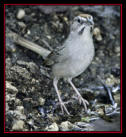 Rufous-crowned Sparrow - Friedrich Wilderness Park - San Antonio, Texas