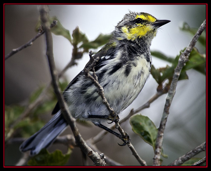 Golden-cheeked Warbler - Friedrich Wilderness Park - San Antonio, Texas