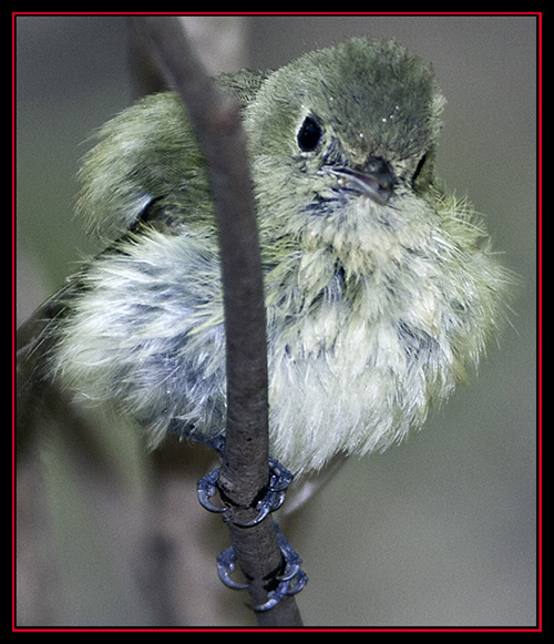 Hutton's Vireo - Friedrich Wilderness Park - San Antonio, Texas