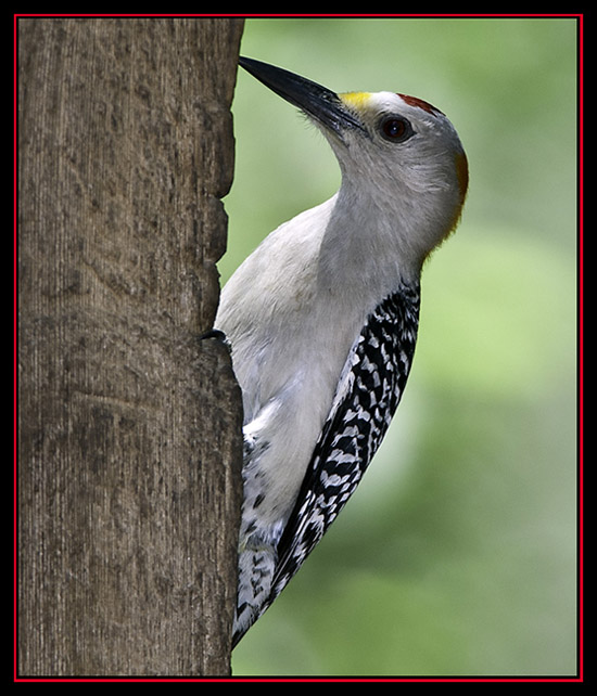 Golden-fronted Woodpecker - Cibolo Nature Area - Boerne, Texas