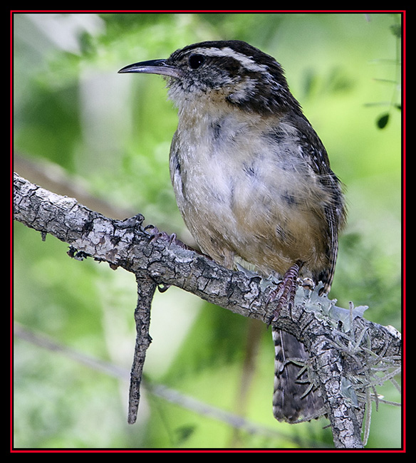 Carolina Wren - Cibolo Nature Area - Boerne, Texas