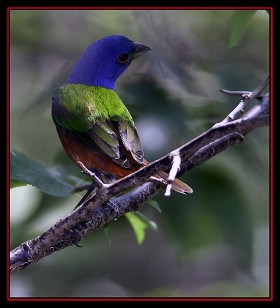 Painted Bunting - Cibolo Nature Area - Boerne, Texas