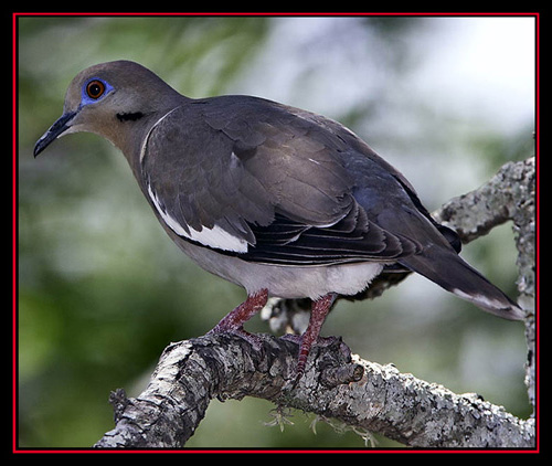 White-winged Dove - Boerne, Texas