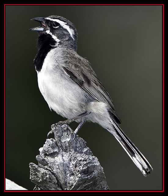 Black-throated Sparrow - Enchanted Rock State Natural Area - Fredericksburg, Texas
