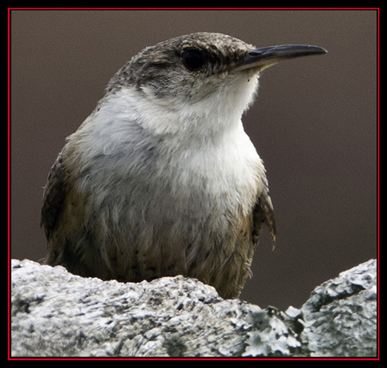 Canyon Wren - Enchanted Rock State Natural Area - Fredericksburg, Texas