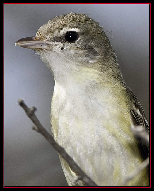 Bell's Vireo - Enchanted Rock State Natural Area - Fredericksburg, Texas