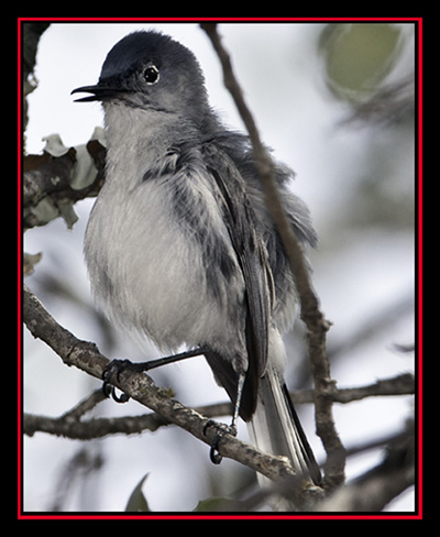 Blue-gray Gnatcatcher - Enchanted Rock State Natural Area Views