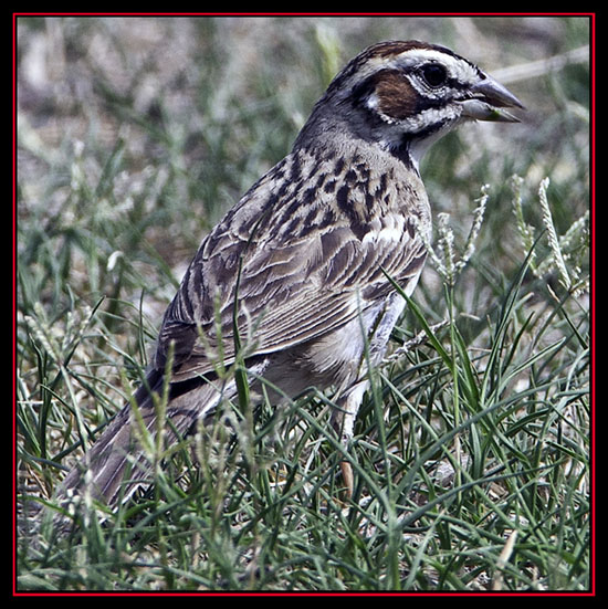 Lark Sparrow - Enchanted Rock State Natural Area - Fredericksburg, Texas