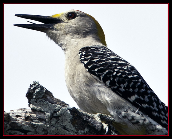 Golden-fronted Woodpecker - Enchanted Rock State Natural Area - Fredericksburg, Texas