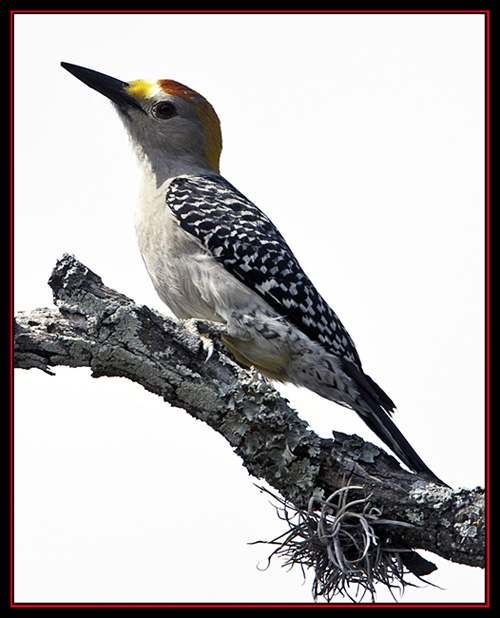 Golden-fronted Woodpecker - Enchanted Rock State Natural Area Views