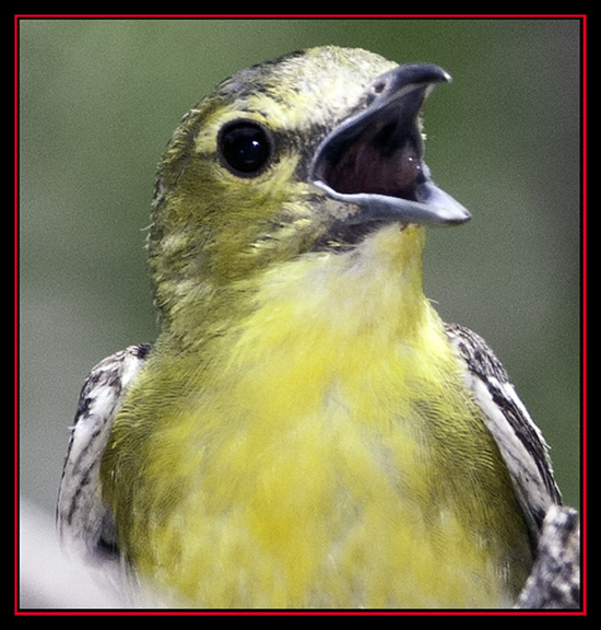 Yellow-throated Vireo - Enchanted Rock State Natural Area - Fredericksburg, Texas