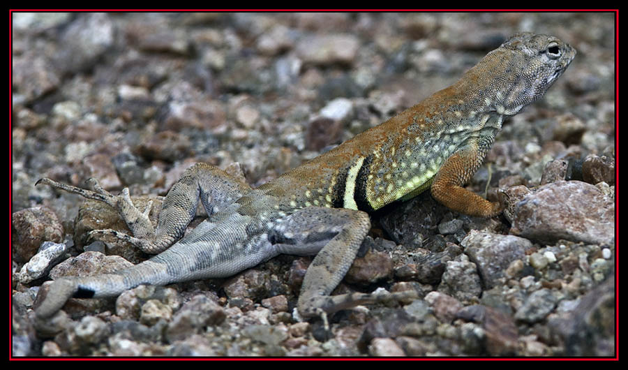 Greater Earless Lizard - Enchanted Rock State Natural Area Views