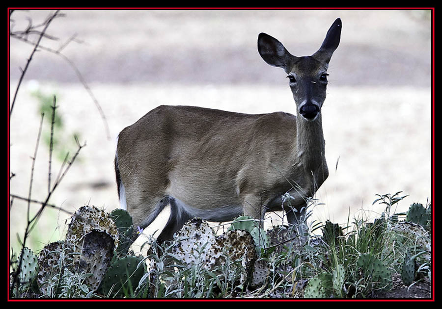 White-tailed Deer - Enchanted Rock State Natural Area