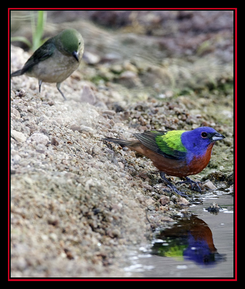 Painted Buntings - Enchanted Rock State Natural Area