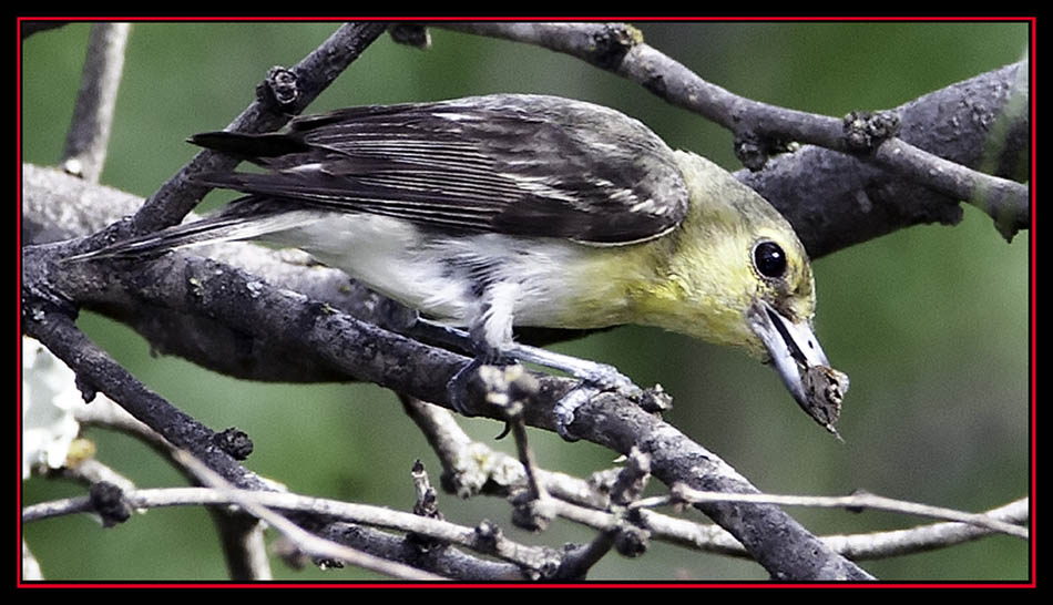 Yellow-throated Vireo - Enchanted Rock State Natural Area
