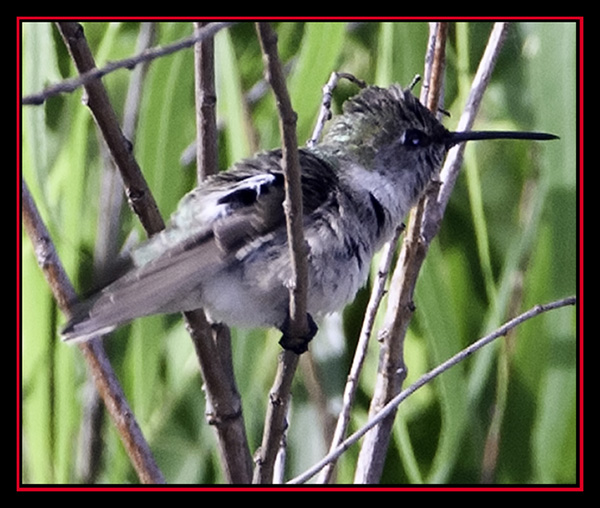 Black-chinned Hummingbird - Enchanted Rock State Natural Area
