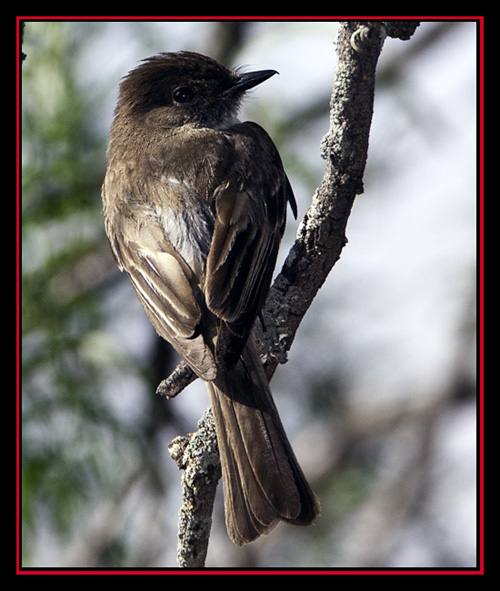 Eastern Phoebe - Enchanted Rock State Natural Area